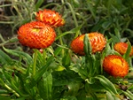 Strawflower, Immortelle (Helichrysum bracteatum)